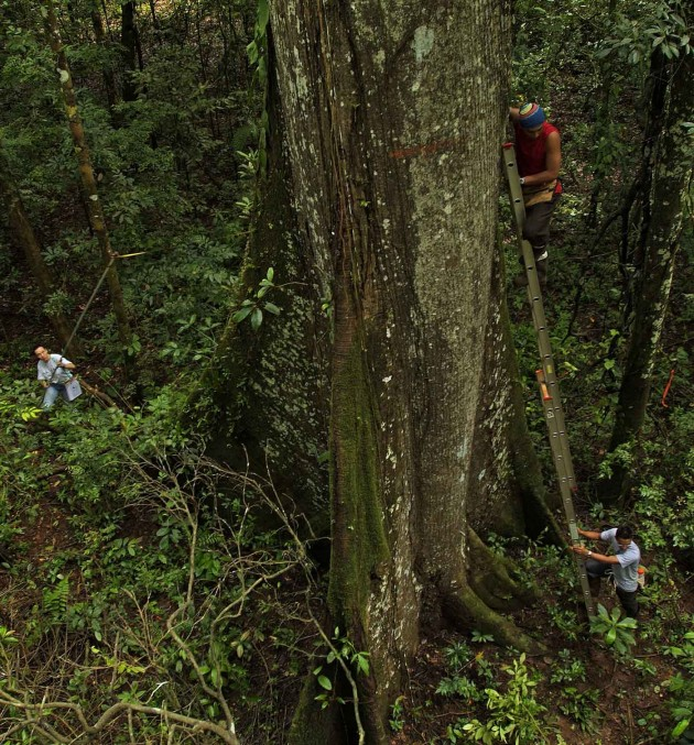 "Plot workers use a ladder to measure the diameter of a tropical tree above the butress roots in the Smithsonian's ""Tropical Forest Observatory"" on Barro Colorado Island, Panama. This large area of forest has been monitored since 1985 in an effort to understand biological diversity and global change. (Photo by Marcos Guerra)"