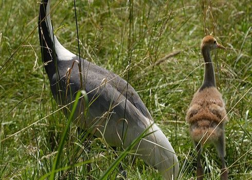 White-naped crane chicks thriving at National Zoo
