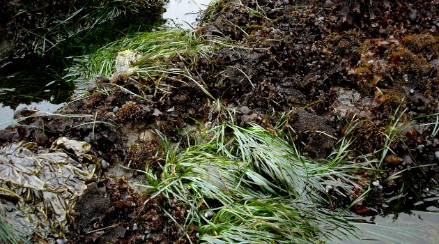 Environmental Research Center to help with Chesapeake Bay seagrass restoration