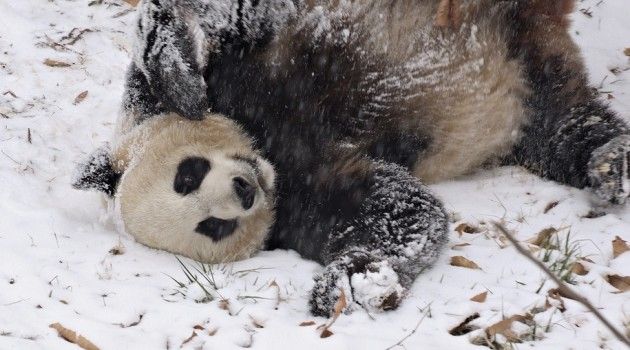 Bao Bao's First Snow Day