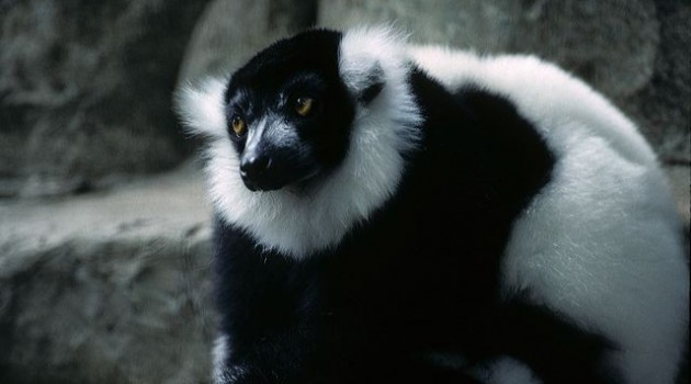 Lemurs exhibit ability for social learning in zoo experiment