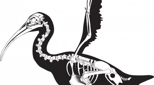 Prehistoric bird able to yield extreme fighting force with club-like wings