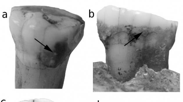 Starch grains found on Neandertal teeth debunks theory that dietary deficiencies caused their extinction