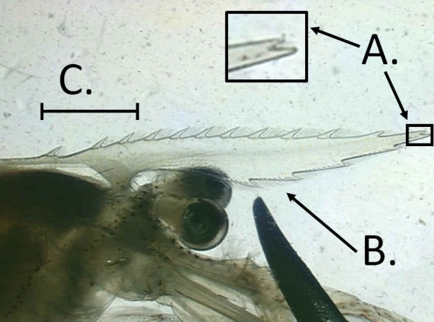 Image right: The shrimp speciesPalaemon macrodactylus is characterized by a forked apical point (A.) of the rostrum, the double row of setae (fine hairs) between the ventral teeth of the rostrum (B.), and three dorsal teeth located behind the eye orbital (C.). They are larger than native grass shrimp; frequently have orange bands of color at the joints of their walking legs and a whitish longitudinal stripe down the back of their carapace.