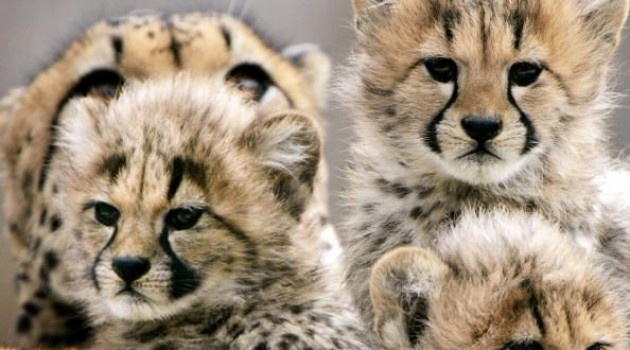 The three male cheetahs that left the National Zoo's D.C. campus in 2009 returned in November and are now on exhibit