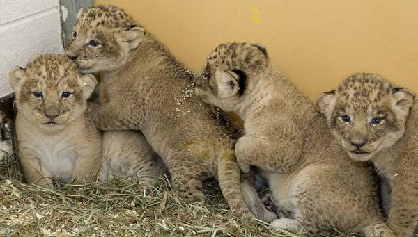 Great Cats curator Craig Saffoe discusses his work caring for the National Zoo's seven frisky lion cubs