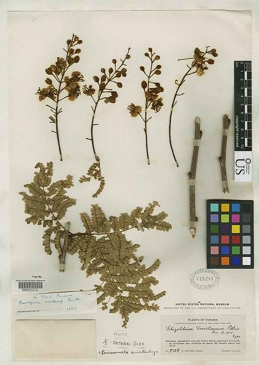 Image right: Plant collectors dry plants and mount them on paper sheets that are stored in plant collections called herbaria. This plant specimen was collected in Panama nearly 100 years ago by Henri Pittier. The Global Plants Initiative puts high resolution scans of the specimens used by botanists to name plants on the Internet.