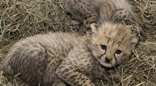 Many years of research are celebrated in the December 2010 birth of two cheetah cubs at the Smithsonian Conservation Biology Institute