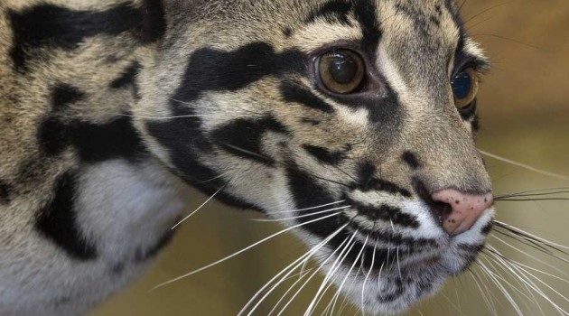 Training a CLouded Leopard for Cheek Swabs