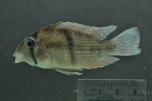 Guianacara cuyunii, a fish from Guyana