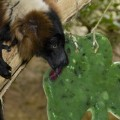 "The National Zoological Park's 23-year-old male red-ruffed lemur, Joven, enjoys a tasty St. Patrick's Day frozen treat made of apples, pears, cucumbers, honeydew and diluted fruit juice. This frozen ""treat"" is a healthy supplement to his diet and provides a boost for his active and social lifestyle—no blarney! (Photo by Mehgan Murphy)"
