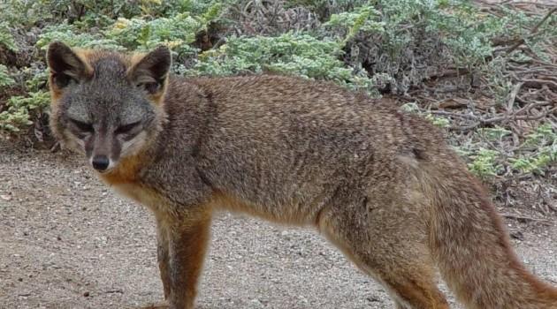 Image left: An island fox (Photo by Rene Vellanoweth, Cal State University Los Angeles)