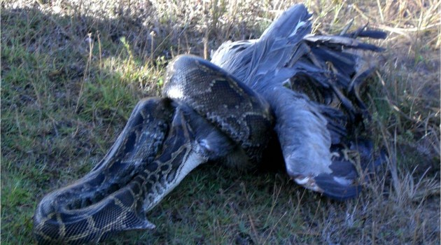 Invasive Burmese pythons are taking a toll on Florida's native birds