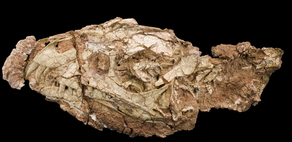 The skull of Daemonosaurus chauliodus is narrow and relatively deep, measuring 5.5 inches long from the tip of its snout to the back of the skull and has proportionately large eye sockets. The upper jaw has large, forward-slanted front teeth. (Carnegie Museum of Natural History)
