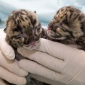 two tiny clouded leopard cubs in the gloved hands of a Zoo keeper