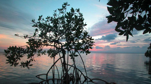 Mangroves creep north in response to warmer temperatures