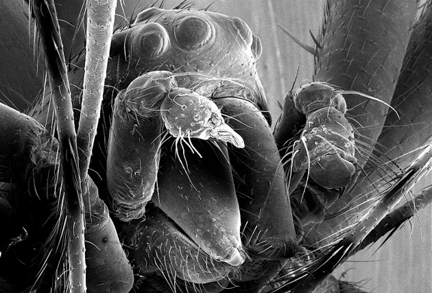 Image right: This scanning electron microscope image of a eunuch N. malabarensis showing its head with eyes and mouthparts, with the two broken stumps of its pedipalps. (Photo courtesy Matjaž Kuntner)