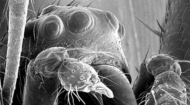 This scanning electron microscope image of a eunuch N. malabarensis showing its head with eyes and mouthparts, with the two broken stumps of its pedipalps. (Photo courtesy Matjaž Kuntner)