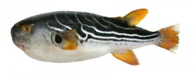 blowfish2 copy