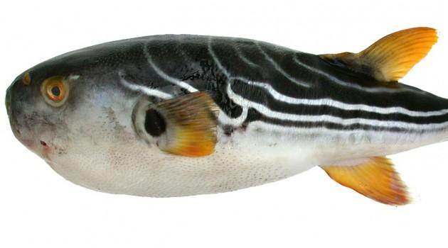 Puffer fish voucher library