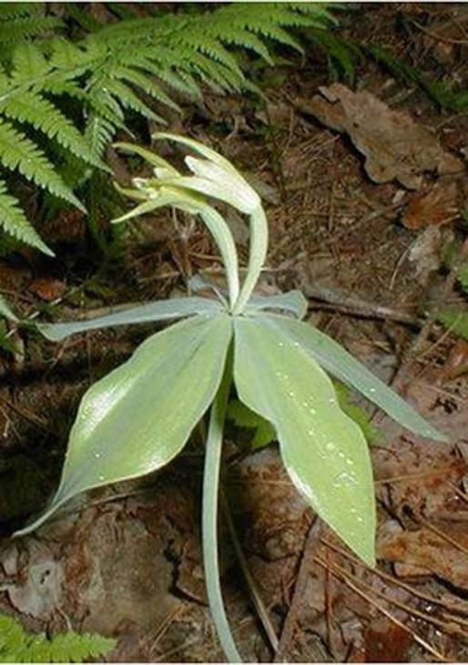 small-whorled-pagonia[1]