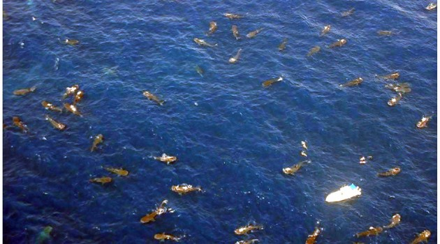 Images above  and below: These aerial photographs show whale sharks feeding at the Afuera aggregation in August 2009. Click to enlarge. (Photos by Oscar Reyes)