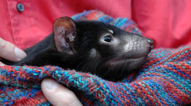 Whole-genome analysis at center of effort to save Tasmanian devil