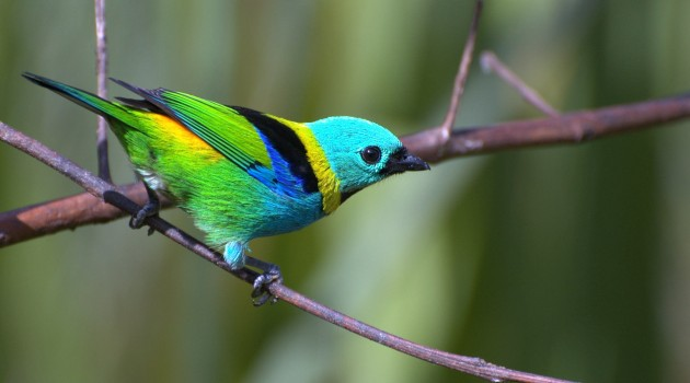 Green-headed Tanager (Tangara seledon) of east-central South America