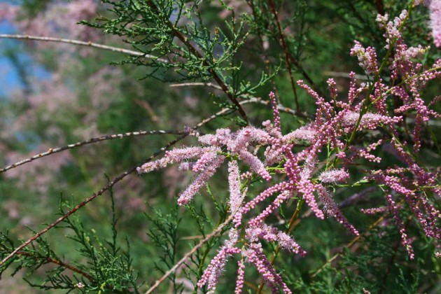 Tamarisk species