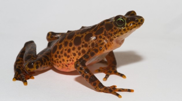 Deadly amphibian disease detected in the last disease-free region of Central America