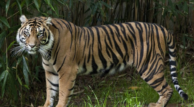 Damai, a two-and-a-half-year-old female Sumatran tiger, makes her debut at the National Zoo