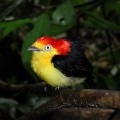 Male wire-tailed manakin displays his striking plumage against the dense rainforest understory. Credit: Brandt Ryder