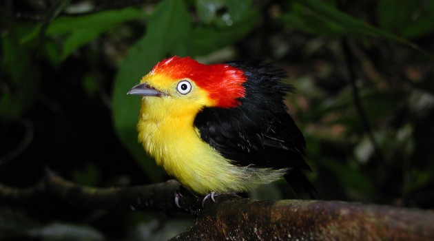 Manakins, birds of tropical forests, form alliances for common good