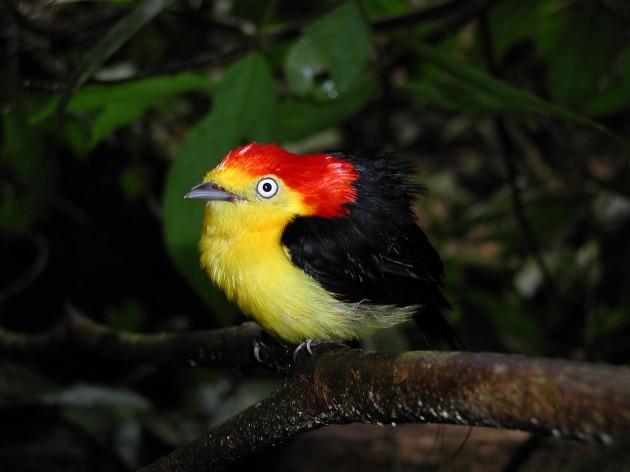 male wire-tailed manakin