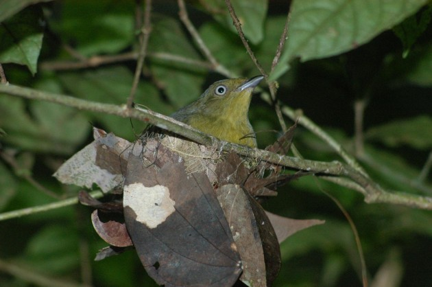 Female wire-tailed manakin