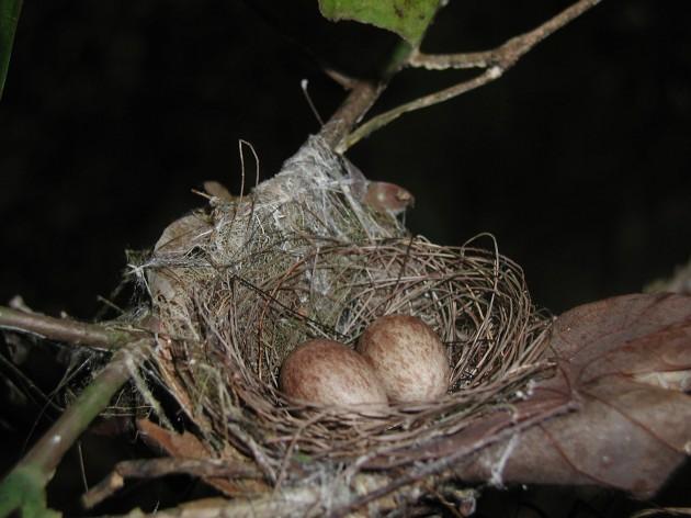 manakin nest