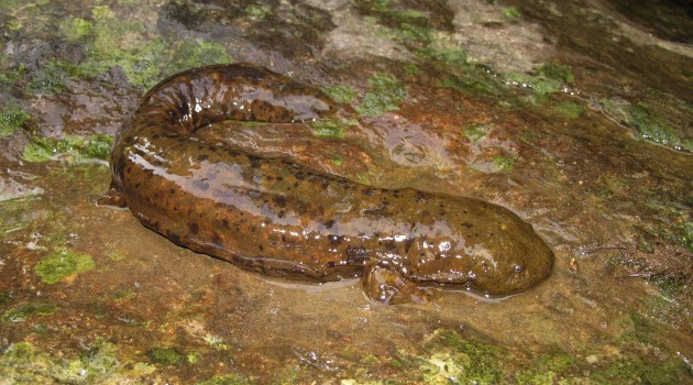 Image right: A wild hellbender captured and released during a recent survey in southwest Virginia. Click photo to enlarge.  (Photos by J.D. Kleopfer, Virginia Department of Game and Inland Fisheries).