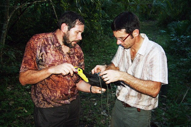 Image right: Researchers Reinhard Vohwinkel, left, and Martin Wikelski attach a high-tech backpack to a wild toucan. The backpacks are designed to fall off the birds after ten days. (Photo courtesy Roland Kays)