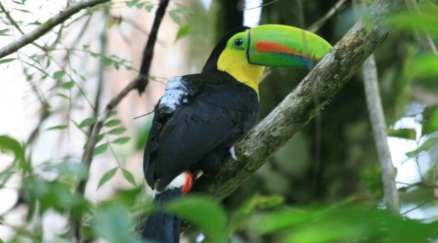 Image left: A wild toucan in the rainforest at Gamboa, wearing a backpack containing a GPS transmitter and accelerometer. (Photo courtesy Roland Kays)