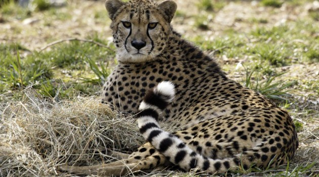 New finding may enable scientists to bolster genetic diversity of captive cheetah population