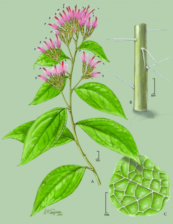 Newly described plant from Bahia, Brazil