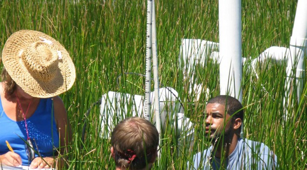 SERC sedge grass experiment mimics predicted global-change scenario