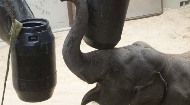 A first: National Zoo elephant shows insightful problem solving