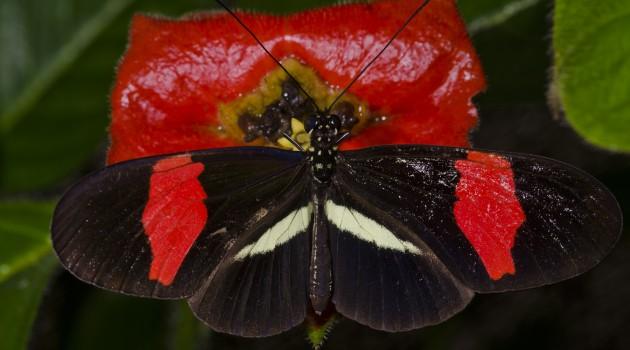 An eye gene colors butterfly wings red