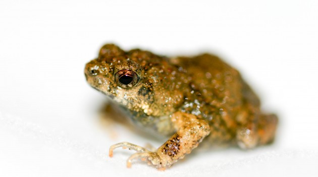 Research on tungara frogs may be applicable to hearing loss/attention deficits in humans