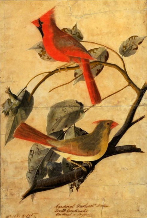 """""""Cardinal Grosbeak,"""" by John James Audubon, this chalk, pencil, watercolor and ink on paper illustration was created about 1811. It is featured in """"The Great American Hall of Wonders,"""" a current exhibition at the Smithsonian American Art Museum that examines the nineteenth-century American belief that the people of the United States shared a special genius for innovation."""