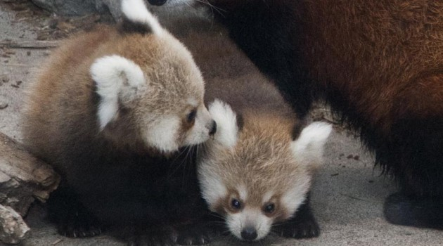 Raising red pandas by hand at the National Zoo