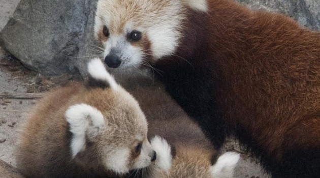 "National Zoo's red pandas named ""Pili"" and ""Damini"" for stormy night"