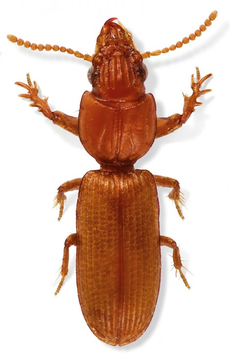 Ground-dwelling beetle from Acapulco, Mexico