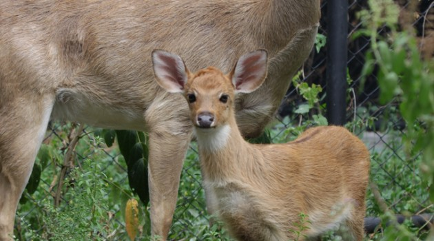 First Eld's deer born from in vitro fertilization with help of Smithsonian Conservation Biology Institute scientists
